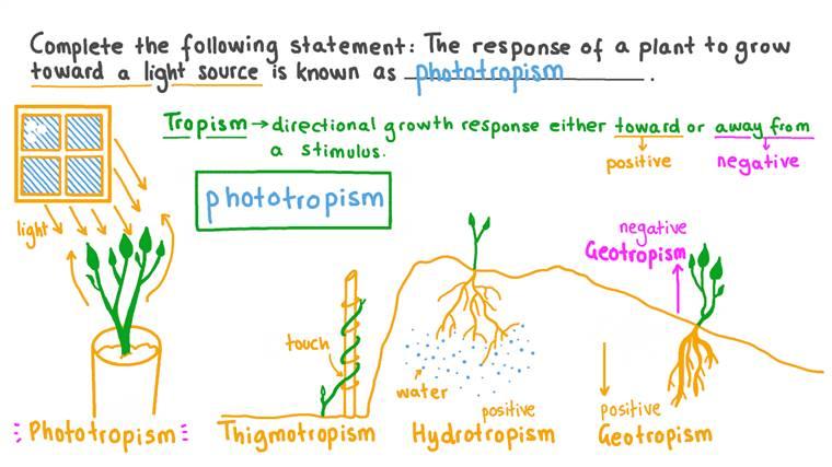 Définition du processus par lequel les plantes poussent en réponse à une source lumineuse