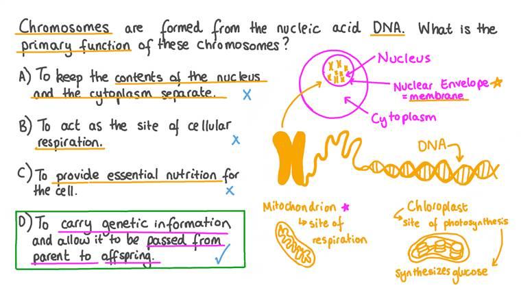 Définir la fonction des chromosomes