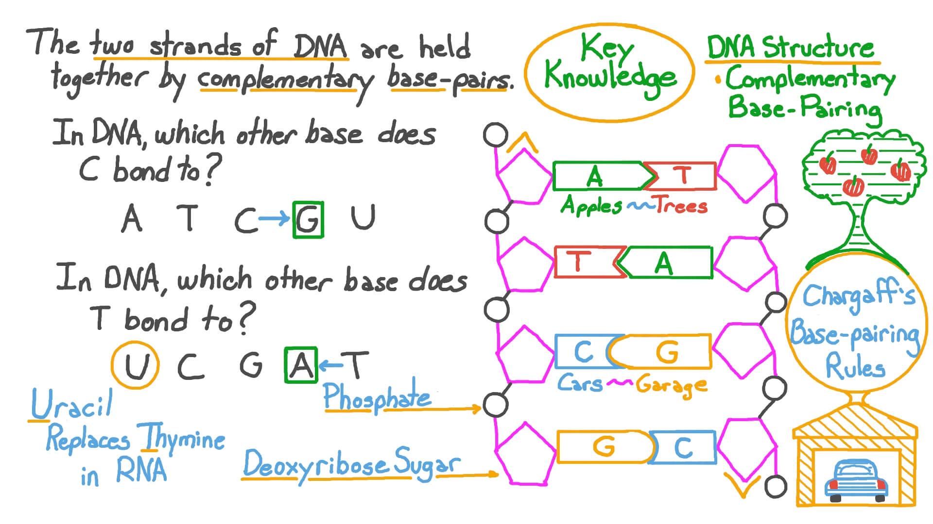 Dna Base Pairing Worksheet : Structure Of Dna Teaching ...