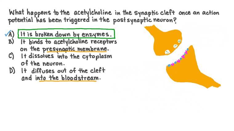Décrire ce que devient l'acétylcholine dans une synapse