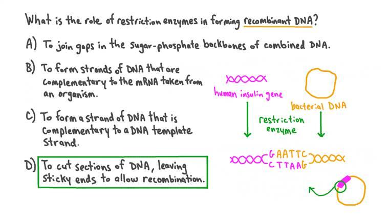 Rappel du rôle des enzymes de restriction dans la formation d'ADN recombinant