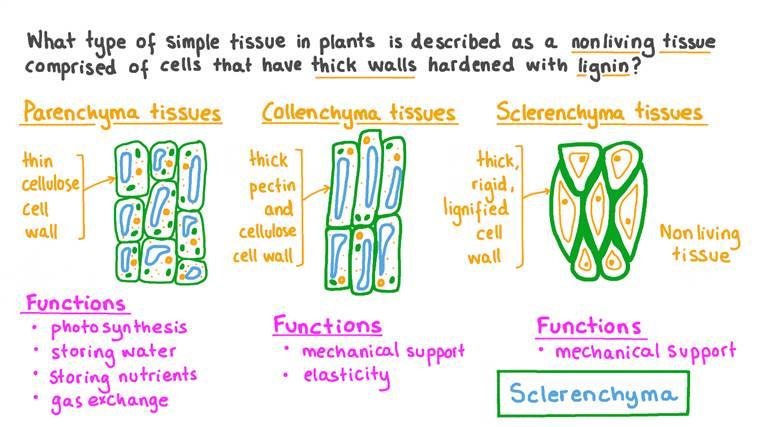 Identification du tissu sclérenchyme à partir d'une description