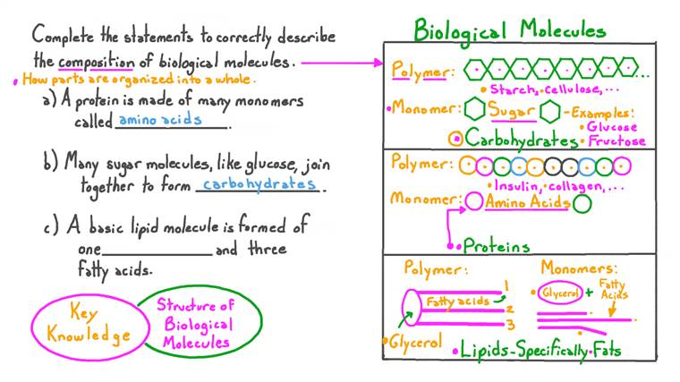 Describing the Basic Composition of the Three Main Biological Molecules: Proteins, Carbohydrates, and Lipids