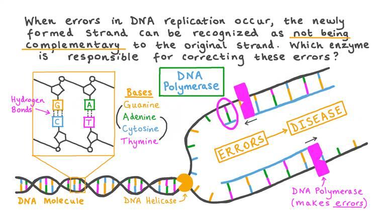 Comprendre Comment la Relecture Corrige les Erreurs Lors de la Réplication de l'ADN