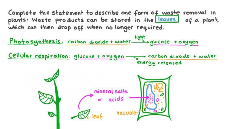 Description du stockage des déchets dans les organes végétaux