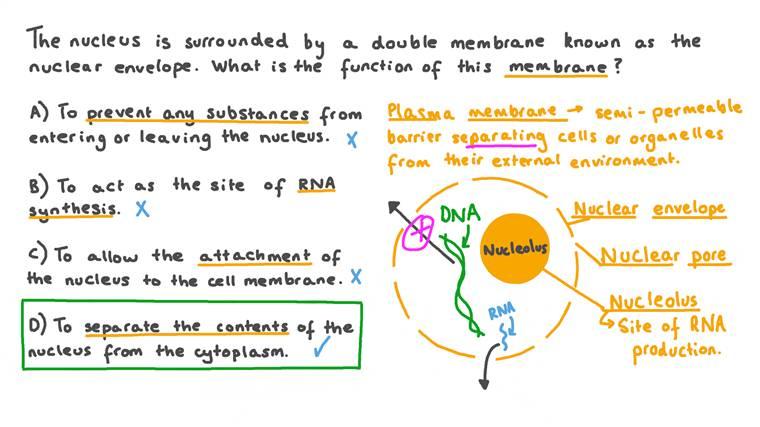 Définir le rôle de l'enveloppe nucléaire