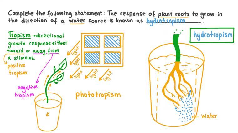 Définir le processus par lequel les racines des plantes poussent en réponse à l'eau