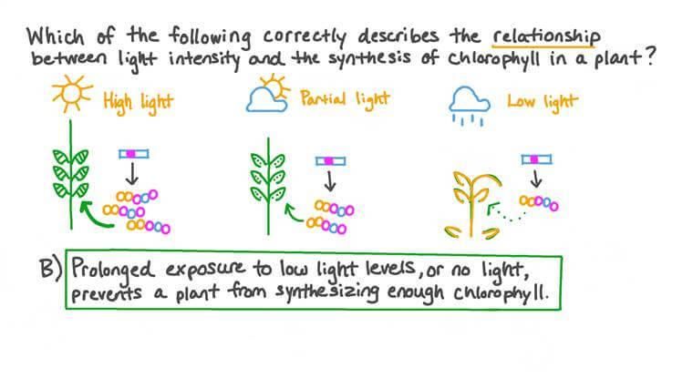 Décrire la relation entre l'intensité lumineuse et la synthèse de la chlorophylle