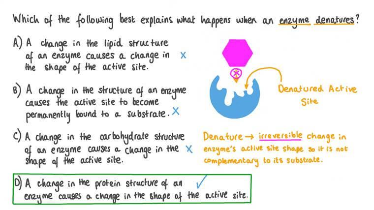 Décrire ce qui arrive à la structure d'une enzyme lorsqu'elle se dénature