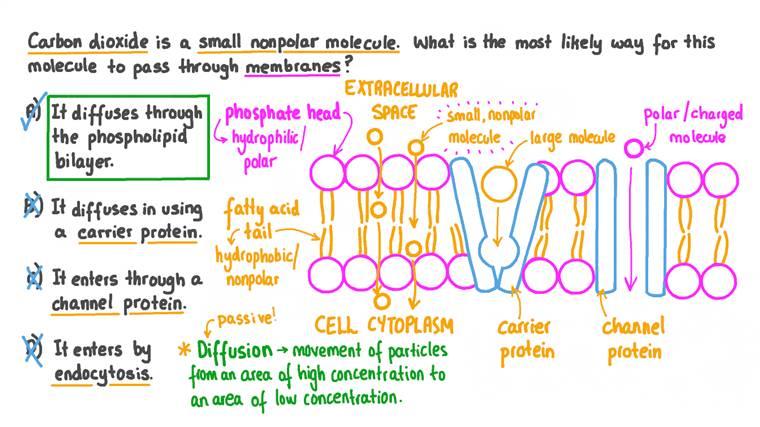 Déterminer comment le cyanure d'hydrogène se déplace à travers les membranes cellulaires