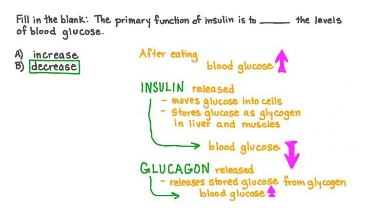 Décrire la fonction principale de l'insuline