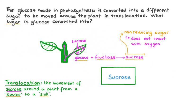 Rappel concernant le sucre transporté au travers de la plante