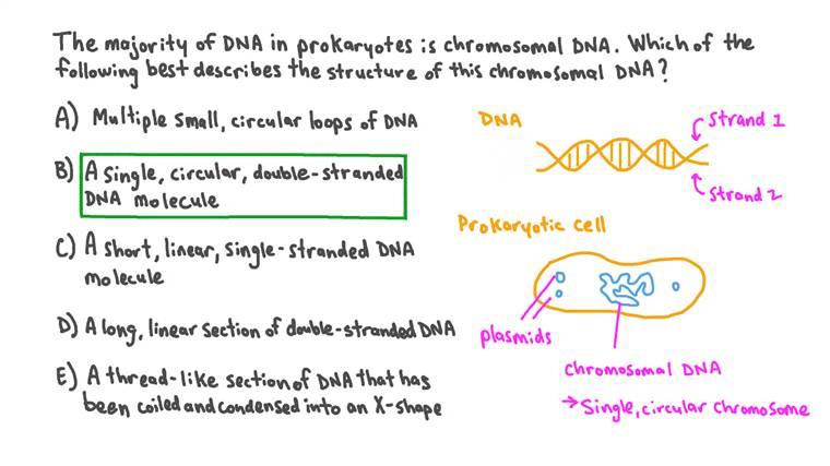 Décrire la structure de l'ADN chromosomique