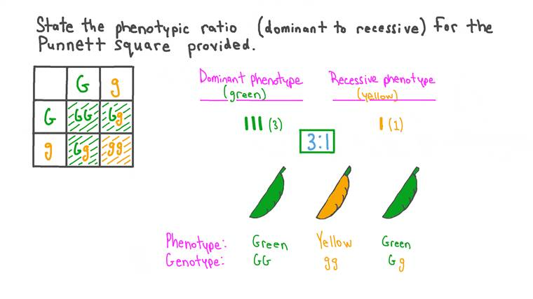 Calculating Phenotypic Ratios from Completed Punnett Square